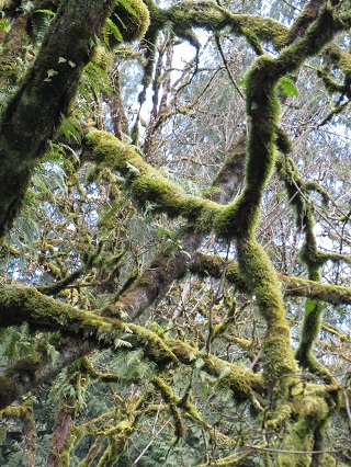 mossy trees