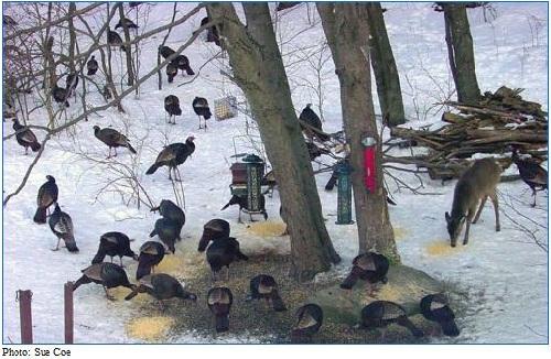 wild turkeys at the feeder