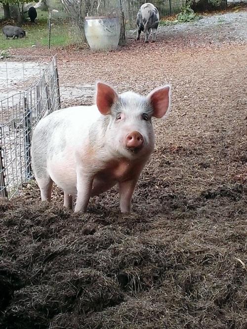 A pig poses
