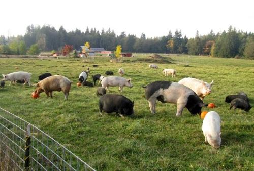 Pigs Peace